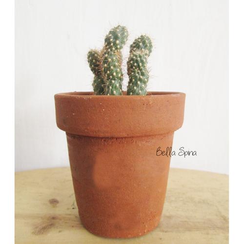 Kaktus Echinocereus Ka-41