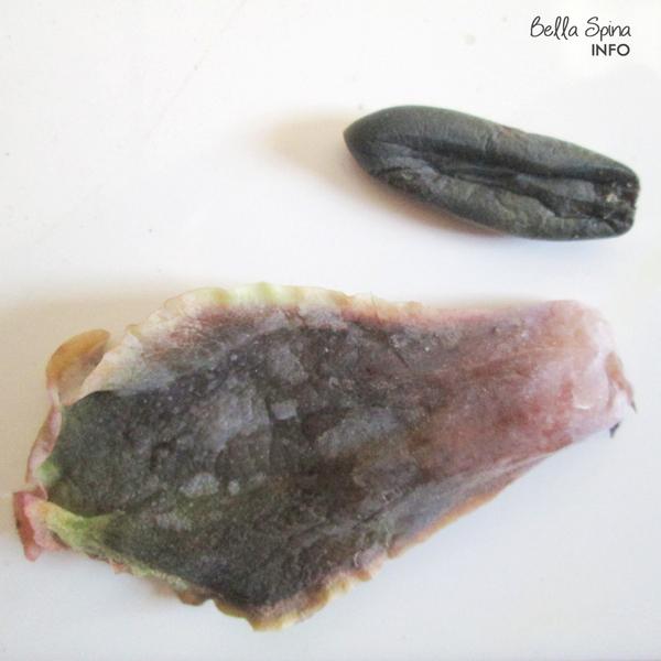 Tips Propagasi /Stek Daun pada Sukulen/Echeveria by Bella Spina